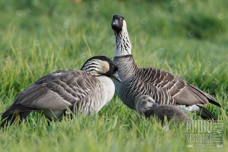 Two nene (or Hawaiian geese) with gosling, Hawai'i.