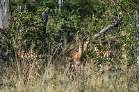 Africa, Botswana, Okavango Delta, Khwai private reserve. springbok.