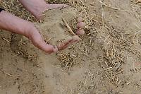 EGYPT, Bahariyya Oasis, Sekem organic farm, Project greening the desert , soil improvement step by step with compost / AEGYPTEN, Oase Bahariya, Sekem Biofarm, Landwirtschaft in der Wueste, schrittweise Bodenverbesserung mit Kompost