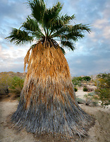 Desert Fan Palm. Palm Desert with sunrise clouds, California