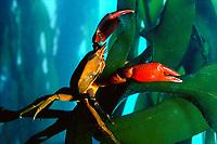 kelp crab on bull kelp, Pacific Ocean Northwest