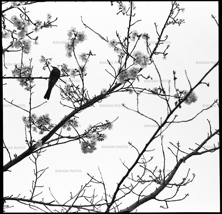 Cherry blossom and a bird in Akashi Castle Park.<br /> <br /> Fleur de cerisier et un oiseau dans le parc du château d'Akashi.