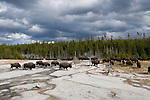 A herd of bison walk near steam rising from hot pools in Yellowstone National Park, Wyoming.