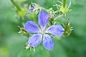 Geranium sylvaticum 'Mayflower', mid May.