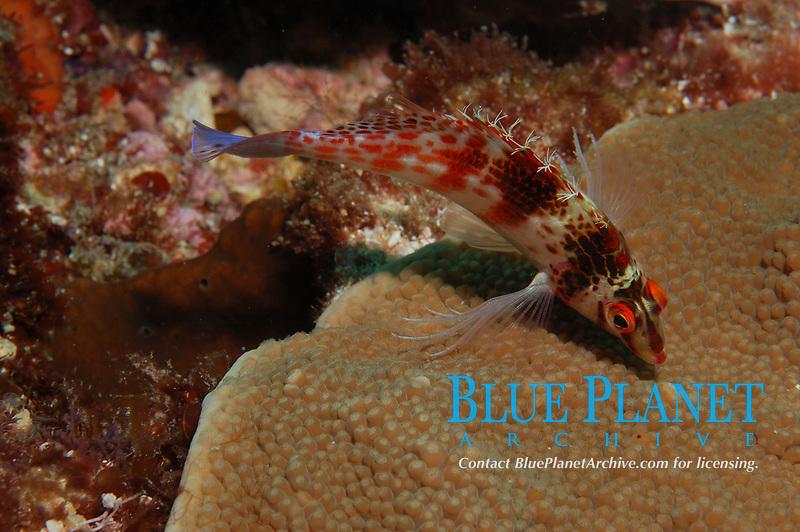 Falcon Hawkfish, Cirrhitichthys falco, feeding on plate coral, Flinders Reef, Moreton Bay Marine Park, Brisbane, Queensland, Australia, Pacific Ocean