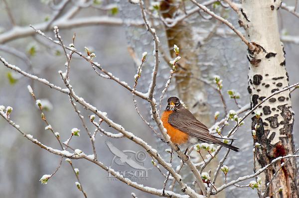 American Robin (turdus migratorius) after spring snow.  Western U.S., April-May.