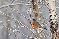 American Robin (turdus migratorius) after spring snow.  Western U.S., April-May.