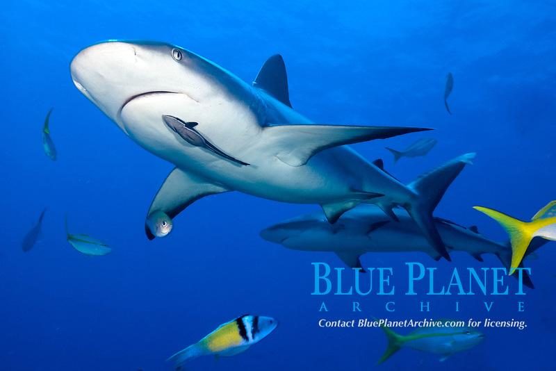 Caribbean reef shark, Carcharhinus perezii, and remora, sharksucker, Echeneis naucrates, Little Bahama Bank, Bahamas, Caribbean, Atlantic