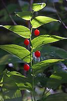 Stängelumfassender Knotenfuß, Stengelumfassender Knotenfuß, Streptopus amplexifolius, Twistedstalk, clasping twistedstalk, claspleaf twistedstalk, White Twisted-stalk, watermelon berry, Clasping-leaved twistedstalk