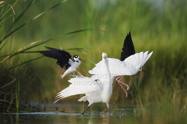 Black-necked Stilt (Himantopus mexicanus), adults attacking Great Egret (Ardea alba), Sinton, Corpus Christi, Coastal Bend, Texas, USA