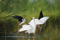 Black-necked Stilt (Himantopus mexicanus), adults attacking Great Egret (Ardea alba), Sinton, Corpus Christi, Coastal Bend, Texas, USA