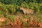 Female jaguar (Panthera onca) stalking along the river bank. Paraguay River, near Taiama Reserve, Western Pantanal, Mato Grosso, Brazil.