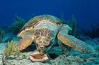 loggerhead sea turtle, Caretta caretta, attempts to crack open shell of queen conch, Strombus gigas, Bahamas, Caribbean Sea, Atlantic Ocean