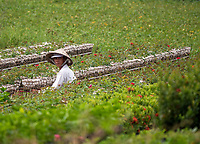The flower gardens of Sa Dec in the Mekong Delta, Vietnam