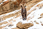 Adult male Siberian ibex (Capra sibirica)(Himalayan subspecies, Capra sibirica sakeen) on mountain slope. Ladakh Ranges, western Himalayas, Ladakh, India.