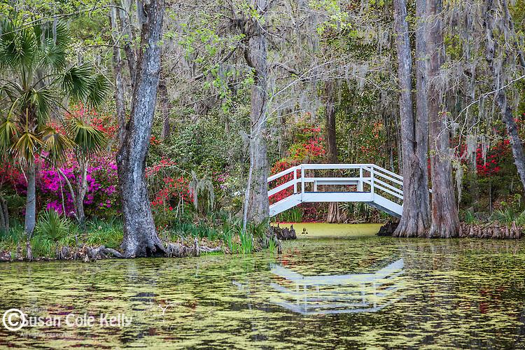 Azaleas and Live oaks with Spanish moss at Magnolia Plantation and Gardens in  Charleston, South Carolina, USA