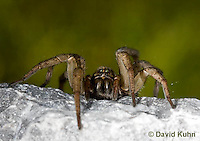 1006-0911  Wolf Spider on Rock, Hogna spp. [formerly Lycosa spp.]  © David Kuhn/Dwight Kuhn Photography