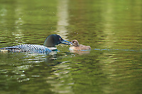 """""""Loon Chick Feeding"""" <br /> <br /> I enjoyed spending two hours with this new loon family, taking their portraits and watching them interact while feeding. It is estimated that a loon family with two chicks can eat 1,000 pounds of fish in 15 weeks!<br /> ~ Day 111 of Inspired by Wilderness: A Four Season Solo Canoe Journey"""