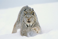 Canadian Lynx (Lynx canadensis) walking through deep powder snow.  Notice the large size of its paws which act like snowshoes in the soft snow.