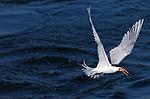 Elegant Tern Takeoff with Fish, Bolsa Chica Wildlife Refuge, Southern California