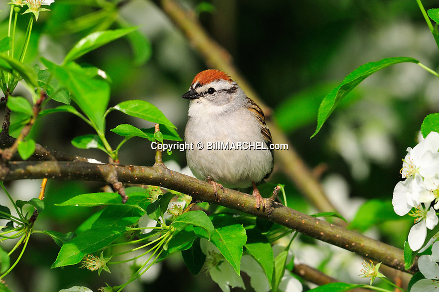 01094-001.17 Chipping Sparrow is perched in crab apple tree in bloom during spring.  Landscape, blossoms, white.
