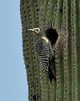 Gila Woodpecker, Arizona
