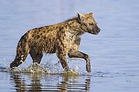 Spotted hyena (Crocuta crocuta), Lake Nakuru National Park, Hyena, Kenya, Africa