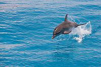 Spotted dolphin Stenella frontalis Atlantic Ocean Bahamas