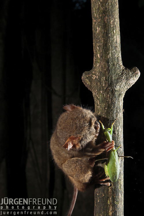 Spectral Tarsier eating a praying mantis, (Tarsius tarsier) in strangler fig tree which serves as sleeping shalter at daytime. Tarsier are insect eaters and hunt at night. They belong to the  smallest primates and only occur in Sulawesi, Borneo, Philippines and Sumatra.