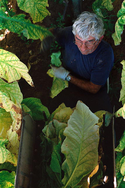 Remzi Mulla Picking Tobacco, Mulla's Farm, Mareeba, 2003.