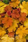 Heuchera, Saxifrage, Cypress Garden, Mill Valley, California