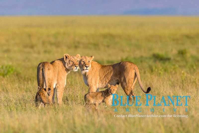 Two Lionesses (Panthera leo) with cubs in grassland looking out, Masai Mara National Reserve, Kenya, Africa