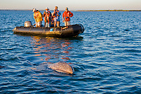 California Gray grayhale calf (Eschrichtius robustus) approaching Zodiac in Magdalena Bay near Puerto Lopez Mateos on the Pacific Ocean side of the Baja Peninsula, Baja California Sur, Mexico. Each winter thousands of California gray whales migrate from the Bering and Chukchi seas to breed and calf in the warm water lagoons of Baja. This is the furthest sout of the three major such lagoons. Current (2008) population estimates put the California Gray grayhale at between 20,000 and 24,000 animals.
