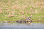 Damon, Texas; a large, adult American alligator with its mouth open, warming itself on the bank of the slough, in late afternoon sunlight