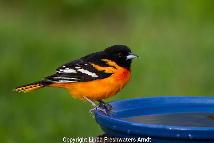 Baltimore Oriole perched on a bird bath
