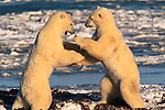 Polar bears fight standing on their hind legs, Canada