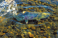 "CHUM SALMON aka ""dog"" salmon..Range from California to Arctic Coast..Migration. (Oncorhynchus keta)."