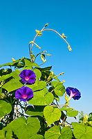 Morning glory, Convolvulaceae