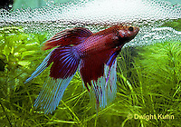BY03-011z   Siamese Fighting Fish - male making protective bubble nest for eggs - Betta splendens