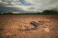 Black-Necked Garter Snake - Thamnophis cyrtopsis - An especially pretty species of garter snake from Arizona, New Mexico, and Texas. Like most garter snakes, they tend to live near water where they eat frogs, fish and earthworms.