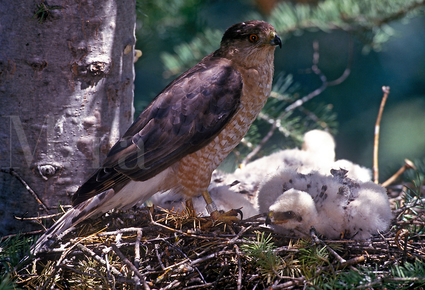 Cooper's hawk at nest, with sleeping downy young, band visible on leg, Jemez Mountains, New Mexico