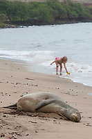 Hawaiian monk seal, Neomonachus schauinslandi, Critically Endangered endemic species, adult female resting on beach with girl playing on beach in background, separated from seal by a section of green line demarcating a temporary seal protection zone; Canoe Beach, Kaanapali, Maui, USA, Pacific Ocean