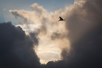 A Brown pelican flies past a break in the rain clouds  before sunset along the Martin Luther King Jr. Regional Shoreline near the Oakland airport.