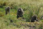 African Baboons (Papio anubis) on the Masai Mara National Reserve safari in southwestern Kenya.