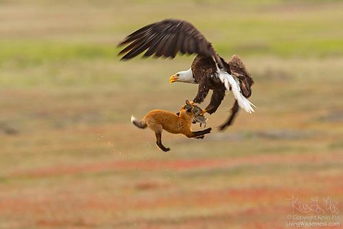 Bald Eagle, Fox and Rabbit in Middair, San Juan Island, Washington