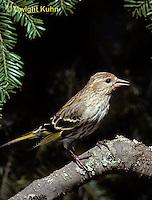 SW04-007z  Pine Siskin - Pine Finch - Carduelis pinus