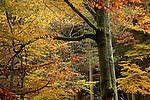 Europa, DEU, Deutschland, Nordrhein Westfalen, NRW, Eifel, Nordeifel, Hirschrott, Nationalpark Eifel, Herbst, Wald, Laubwald.  Kategorien und Themen, Natur, Umwelt, Landschaft, Jahreszeiten, Stimmungen, Landschaftsfotografie, Landschaften, Landschaftsphoto, Landschaftsphotographie, Tourismus, Touristik, Touristisch, Touristisches, Urlaub, Reisen, Reisen, Ferien, Urlaubsreise, Freizeit, Reise, Reiseziele, Ferienziele<br /> <br /> [Fuer die Nutzung gelten die jeweils gueltigen Allgemeinen Liefer-und Geschaeftsbedingungen. Nutzung nur gegen Verwendungsmeldung und Nachweis. Download der AGB unter http://www.image-box.com oder werden auf Anfrage zugesendet. Freigabe ist vorher erforderlich. Jede Nutzung des Fotos ist honorarpflichtig gemaess derzeit gueltiger MFM Liste - Kontakt, Uwe Schmid-Fotografie, Duisburg, Tel. (+49).2065.677997, archiv@image-box.com, www.image-box.com]