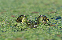 Bullfrog, Rana catesbeiana, adult in duckweed camouflaged, Welder Wildlife Refuge, Sinton, Texas, USA, May 2005