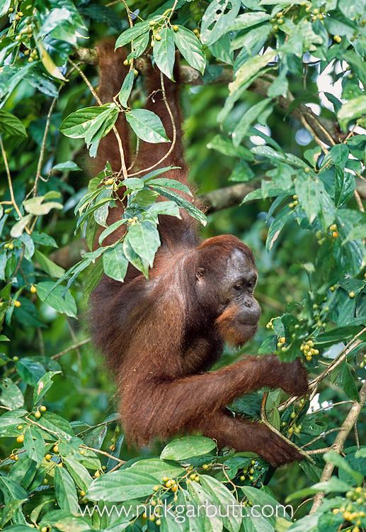 Male Bornean Orang-utan (Pongo pygmaeus) feeding on wild figs in forest canopy. Danum Valley, Sabah, Borneo.
