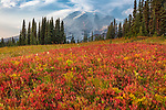 Mount Rainier National Park, WA: Autumn colors of blueberries and wildflowers in the high alpine meadows with Mount Rainier in the distance